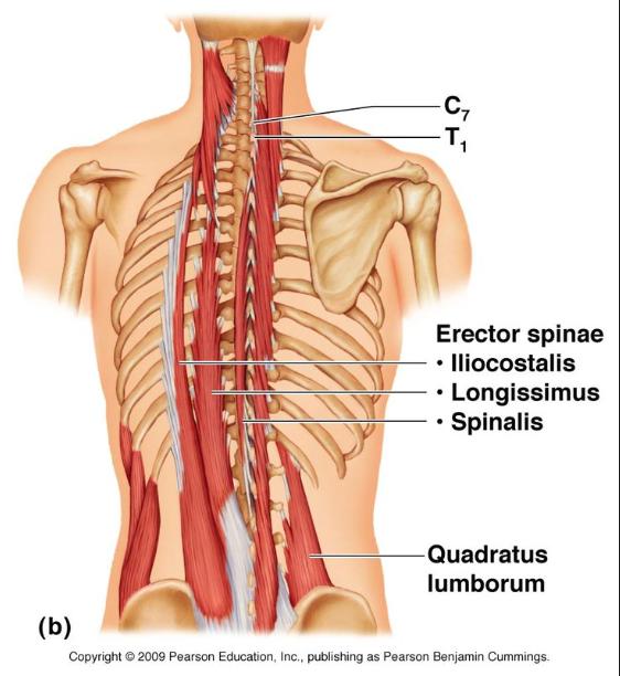 Core Muscles Core Muscles Multifidus